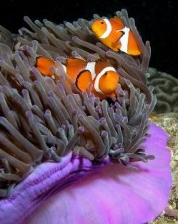 Klovnefisken, som Disney gjorde til allemannseie med filmen om «Nemo» i 2003, er en av over 3000 fiskearter i Koralltriangelet. (Foto: Nick Hobgood)