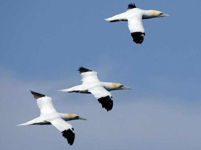 Havsula har siden 1947 spredt seg som hekkefugl i fuglefjell på fem steder i Norge, fra Sunnmøre til Finnmark. De siste årene også stadig lengre nord i Barentshavet. (Foto: Robert T. Barrett)