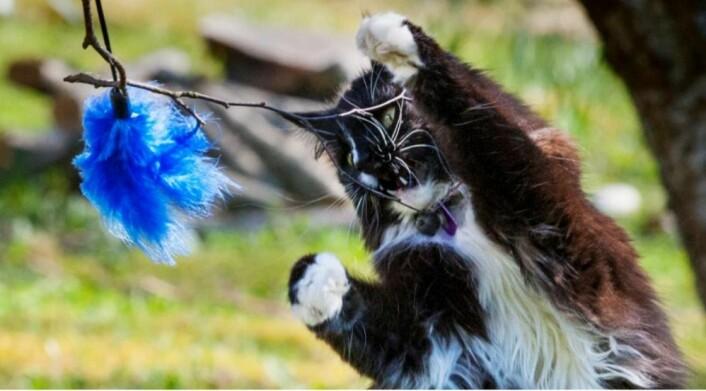 Katten Rampoline er 16 år gammel, men katteekspert Braastad leker fortsatt med henne. Jaktinstinktet gjør at Rampoline gjerne er med på lek med fjærdusk. (Foto: Audun Braastad)