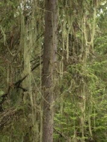 Hvis du er så heldig å få tak i toppen av et tre som har vokst seg stort i skogen, er det kanskje ferdig pyntet med både kongler og naturens eget glitter: huldrestry. (Foto: Foto: Einar Timdal, Naturhistorisk museum, UiO, CC BY 4.0)
