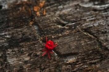 Hvis du finner et kryp med åtte bein i juletreet, er det ikke et insekt– men et edderkoppdyr. I dette tilfellet, en midd. De er heldigvis ikke farlige for folk. (Foto: Colourbox)