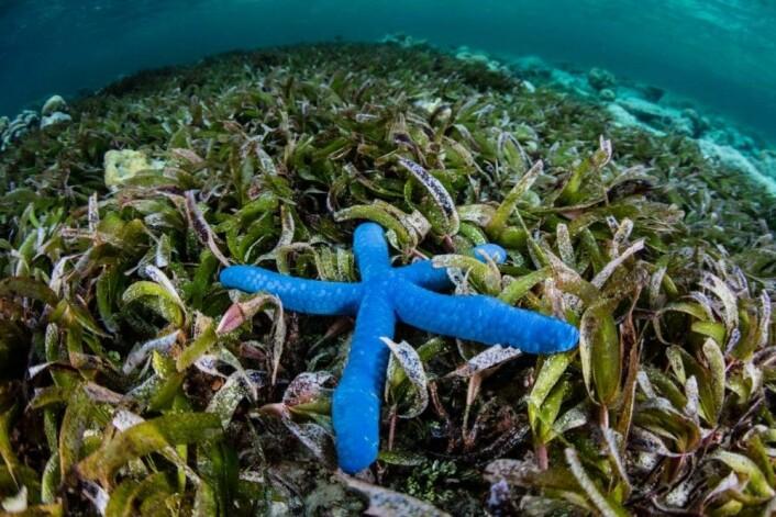 Slik ser det ut i sjøgress-engene der forskere fra flere verdensdeler har sett på sjøgress og bakterier – utenfor den indonesiske øya Sulawesi. (Foto: Shutterstock)