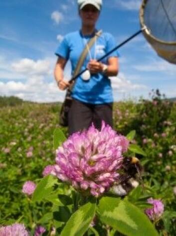 Forskere med øyne for naturens små vaktmestere, har sett på hvordan vi kan snu den farlige utviklingen hvor stadig flere av pollinatorene dør. (Foto: Sondre Dahle, NINA)