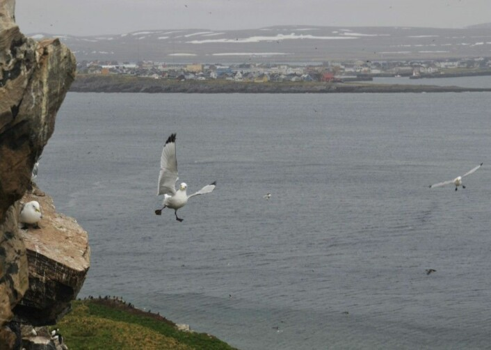 Siden 1978 har gjennomsnittstemperaturen i Barentshavet økt med over én grad. Det merker krykkja, som sliter med å finne seg mat. (Foto: Helge M. Markusson / Framsenteret)