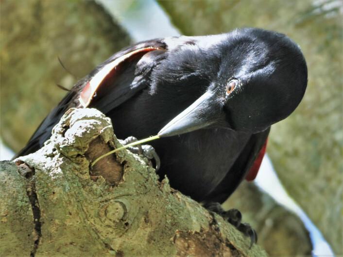 Krokene er mer effektive enn rette pinner når kråkene skal fiske etter larver under barken på trær. (Foto: James St. Clair)