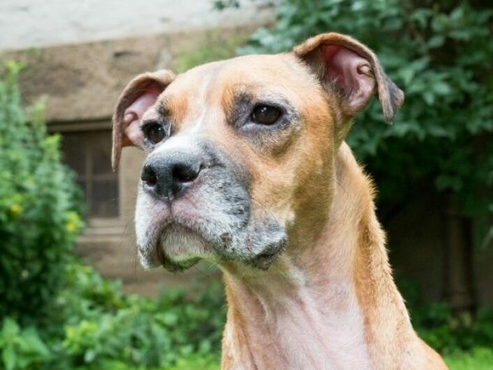 I dag har Murphy det godt, takket være behandlingen han fikk hos veterinæren. Men om han en dag vil bli helt symptomfri, er usikkert. (Foto: Camilla Wiik)