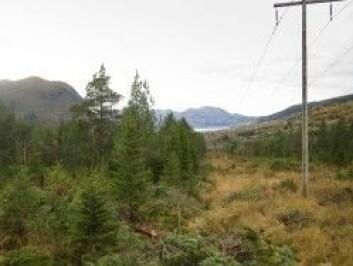 FØR: Her stod det plantet gran med sentvoksende furu over. (Foto: Hans Peter Eidseflot, Mørenett)