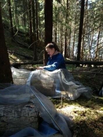 Her pakker Rannveig Jacobsen inn de døde trestokkene i fluenetting for å stenge insektene ute. (Foto: Tone Birkemoe / NMBU)