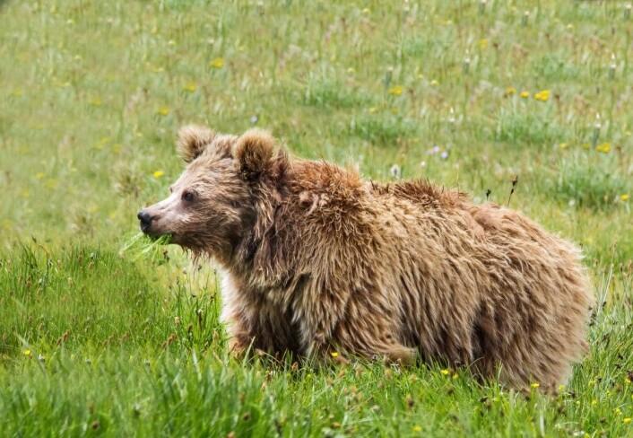 Yeti er en himalayabrunbjørn. (Foto: Abdullah Khan / Snow Leopard Foundation)