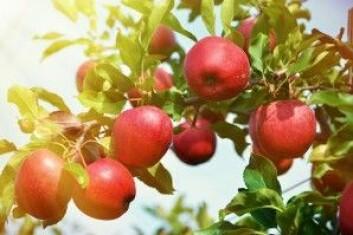 Et økologisk epletre gir ikke like mange epler som et konvensjonelt, og derfor kreves det flere kvadratmeter dyrkbar jord til å dyrke den samme mengden epler økologisk. (Foto: Alexander Chaikin / Shutterstock / NTB scanpix)