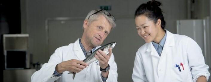Torstein Skåra og Izumi Sone forskar på kva som påverkar kvalitet og haldbarheit hos makrellfilet. (Foto: Jan Inge Haga / Nofima)