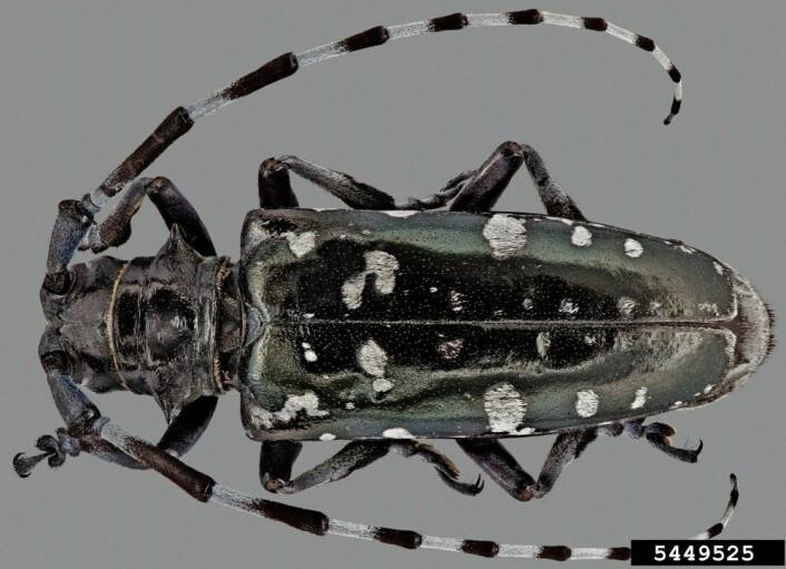 Løvtrebukk stammer opprinnelig fra Kina. (Foto: S. Valley, Bugwood.org)
