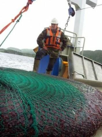 Fisker Jarle Mork ved et nett med mer enn sju tonn kronemaneter, tatt i Trondheimsfjorden. (Foto: NTNU)