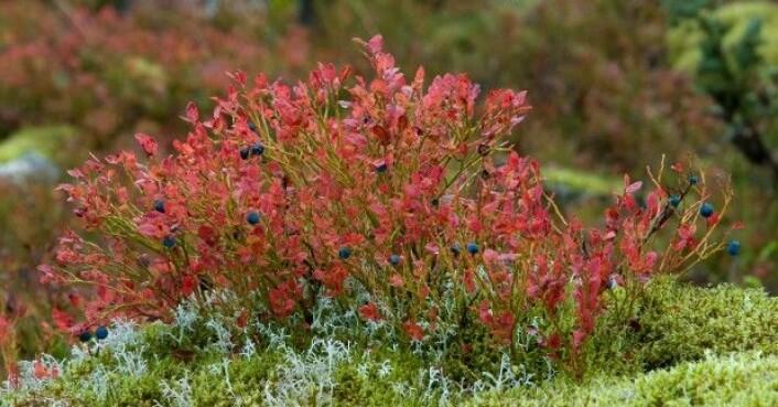 Røde blader - blå bær. (Foto: Dan Aamlid)