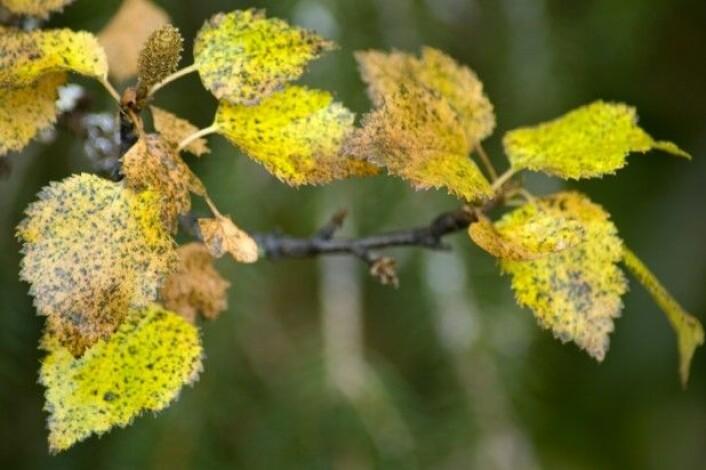 En del soppsykdommer kan gi gule blader på bjørketrær i høyereliggende strøk, og da er det som regel bjørkerust som er årsaken til de gule bladene. (Foto: Lars Sandved Dalen, NIBIO)