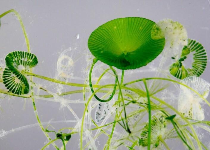 Selv om disse algene er ti centimeter store, består de bare av en eneste celle. Hver av cellene består av en stilk og et hode. Noen av hodene ser ut som paraplyer. De grønne prikkene er klorofyllkorn. (Foto: Yngve Vogt)