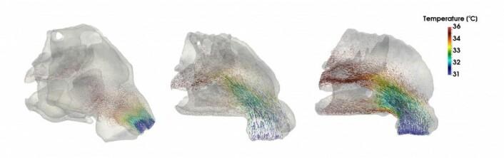 Dette bildet viser luftflyten i forskjellige typer neser. Den asiatiske typen til venstre, den sør-europeiske i midten, og neandertaler-nesen til høyre. Du kan legge merke til at luften blir raskere varm i nesen til venstre. (Bilde: PNAS)