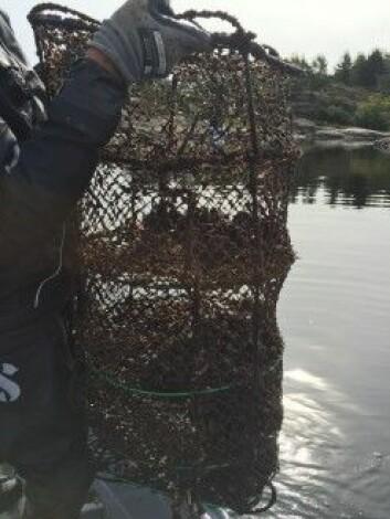 Forskarane sat ut to bur i vatnet utanfor Kristiansand med 1000 reine blåskjel i kvar. Eit i hamna og eit lenger ut i fjorden.<br>(Lise Tveiten, NIVA)