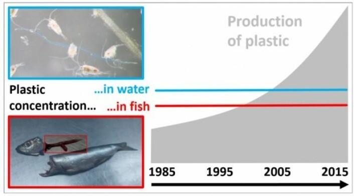 Grafisk modell fra studien som viser det stabile nivået. Om lag hver femte fisk hadde plast i magen i hele perioden. I den nye studien var det noen svingninger i fiskenes inntak av plast, men inntaket varierte med mengden av mat fiskene inntar over årstidene – det var ikke en utvikling over en årrekke, som forskerne ellers hadde regnet med. (Grafikk: DTU)