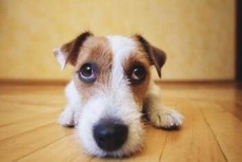 Når hunder gjør øynene store og runde vekker det empati. Foto: Sundays Photography / Shutterstock / NTB scanpix