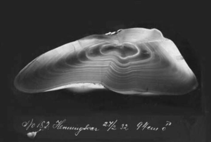 Ørestein fra torsk. Denne er sagd tvers over og bildet viser snittflata. Havforsker Gunnar Rollefsen utvikla en metode for aldersbestemmelse av torsk ved hjelp av ørestein. (Foto: Gunnar Rollefsen, Havforskningsinstituttet)