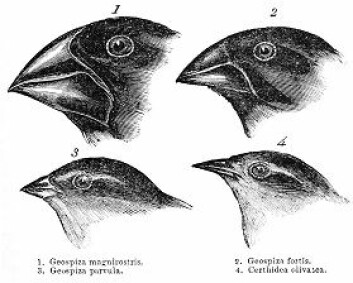 Darwins Galápagos-finker med ulike nebb. (Tegning: John Gould)