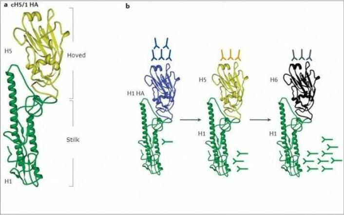 Illustrasjonen viser hemagglutininmolekylet på influensavirus. Forskerne forsøker å tvinge immunforsvaret til å danne antistoffer mot stilken i stedet for hodet. I flere omganger utsettes kroppen for influensavirus med ulike hemagglutininhoder som er gradvis mer usynlige for immunsystemet. Dermed danner kroppen antistoffer mot stilken, som ikke endrer seg og derfor kan gjenkjennes. (Illustrasjon fra den vitenskapelige artikkelen)