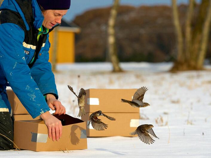 Forsker Ingerid Julie Hagen (tidligere ved NTNU, nå ved NINA) slipper ut fugl på Leka som er valgt ut for å bli i bestanden. (Foto: Henrik Jensen, NTNU)