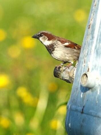 Det er første gang i hele verden at noen har flyttet fugl for å gjøre kunstig seleksjon i en vill bestand. (Foto: Henrik Jensen, NTNU)