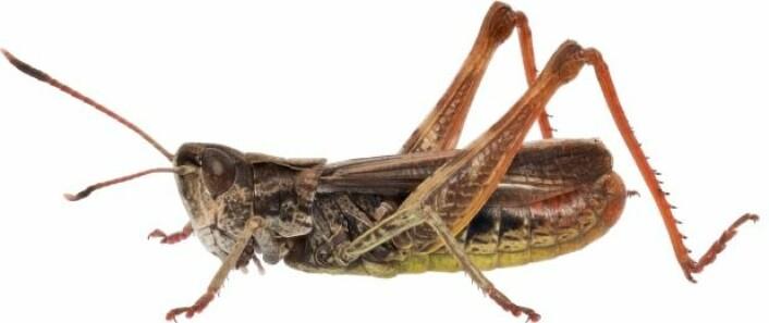 Hann av stor køllegresshoppe (Gomphocerippus rufus) (Foto: Hallvard Elven / CC BY 4.0)