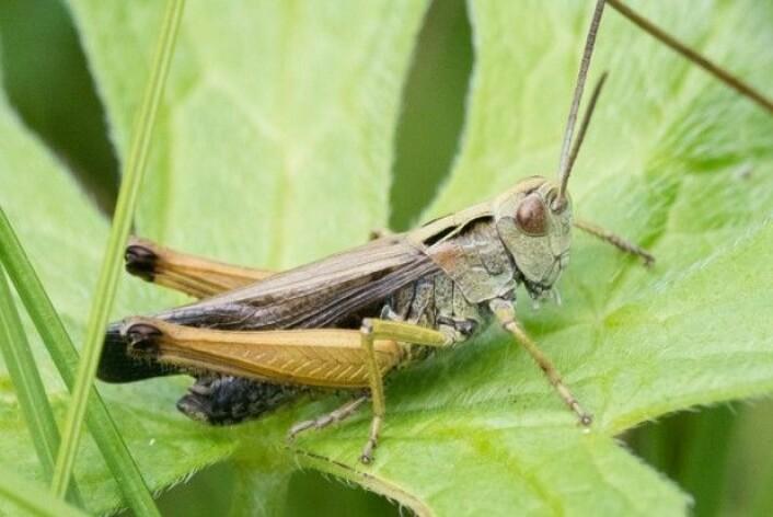 Hann av grønn markgresshoppe (Omocestus viridulus). (Foto: Hallvard Elven / CC BY 4.0)