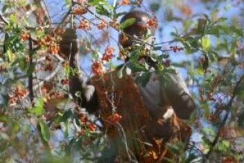 Under regntiden har hadzaene mer på fokus samle frukt og bær. (Foto: Human Food Project, Jeff Leach)