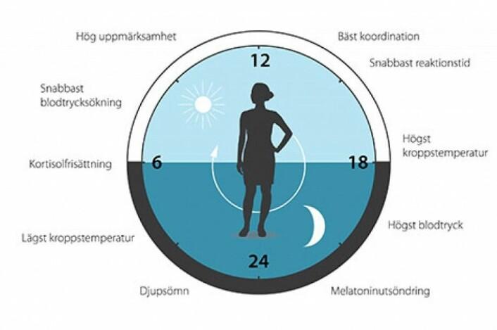Døgnrytmen vår regulerer blant annet matinntak, søvn, hormonnivåer, blodtrykk og kroppstemperatur. (Ill: Nobelprize.org)