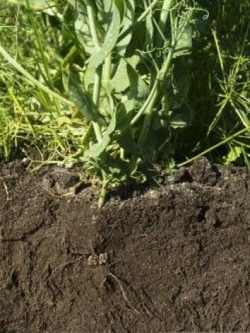 Bilde 3: Planterøtter kan forbedre jordstrukturen ved å danne nye porer i jorda og slik løsne opp i pakkeskadene. (Foto: NIBIO)