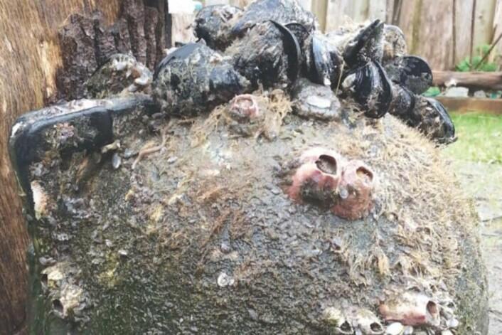 Japanske blåskjell, rankeføttinger og sjøanemoner hang på denne bøya som dukket opp utenfor Oregon. (Foto: Nancy Treneman)