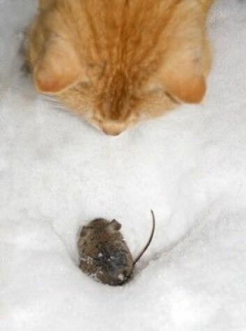 Det kan se ut til at toksoplasmose kan skape større endringer i menneskekroppen enn vi har trodd. Hos mus forandrer parasitten noe så viktig som frykten for katt. Dermed kommer <em>T. gondii</em> seg dit den vil - i magen til et kattedyr. (Foto: Colourbox)