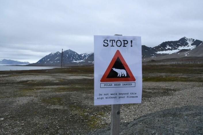 I Ny Ålesund er det reell fare for Isbjørn nesten overalt. (Foto: Thoralf Fagertun)