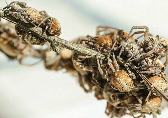 En gruppe av den sosial edderkoppen <em>Stegodyphus dumicola</em>. De lever sammen i store kolonier der både mødre og tanter bidrar til at neste generasjon skal vokse opp. (Foto: Anja Junghanns)
