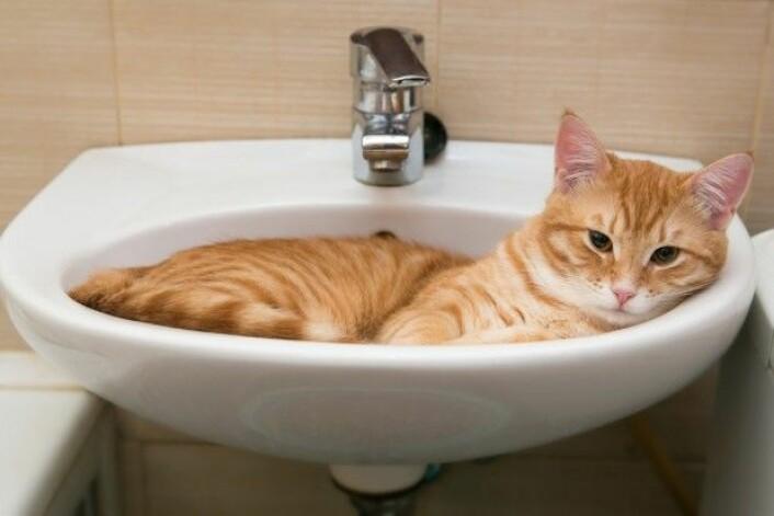 Katter former seg etter den beholderen de ligger i, akkurat som væske. (Foto: Okssi / Shutterstock / NTB scanpix)