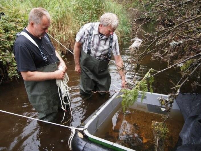 Professor Per J. Jakobsen fra UiB og miljøsjef Håvard Bjordal i Bergen kommune setter ut småørret og gyteklar musling i et såkalt «gytekar» med god vanngjennomstrømning. Da blir det lettere for larvene å finne vertsfisk. (Foto: Håvard Bjordal)