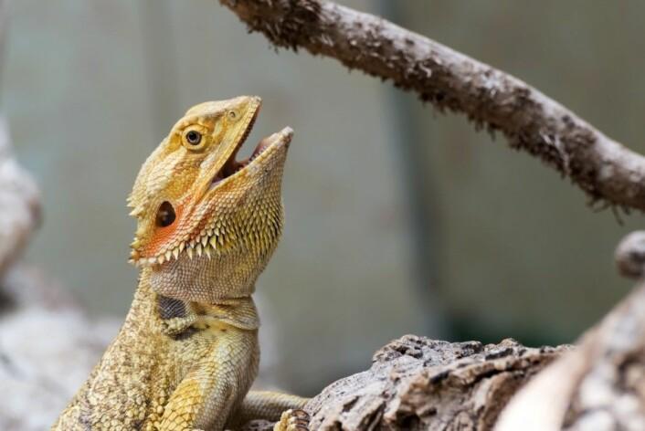 Siden august i år har det blitt tillatt å holde 19 reptiler som kjæledyr i Norge. Det gjelder blant annet skjeggagamen, med det latinske navnet Pogona vitticeps. (Foto: Shutterstock / NTB scanpix)