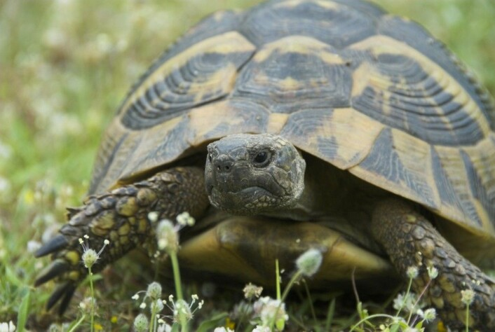 Reptiler kan leve veldig lenge. Faktisk kan enkelte skilpadder bli hele 100 år. Det bør du ta med i vurderingen, hvis du tenker på å skaffe deg en skilpadde, mener forskeren. (Foto: Shutterstock / NTB scanpix)