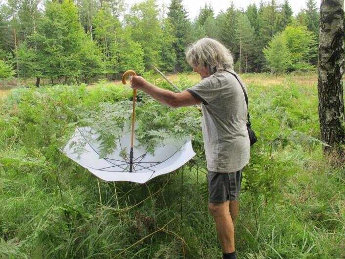 Forsker Pavel Bezděčka er en av de tsjekkiske maurforskerne som har kartlagt vevkjerringene. Her bruker han en paraply for å samle inn dyr fra vegetasjonen. (Foto: Klára Bezděčková)
