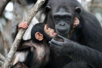 Sjimpanseunger er helt avhengige av å være i fysisk kontakt med mødrene sine. Uten den dør de. (Foto: GUDKOV ANDREY / Shutterstock / NTB scanpix)
