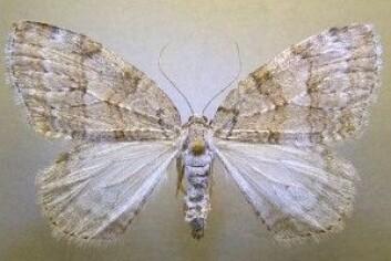 Fjellbjørkemåler har det latinske navnet<em>Epirrita autumnata.</em>(Foto: Vladimir Kononenko, Naturhistorisk Museum, UiO)