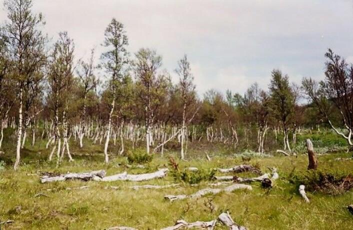 Situasjonen innerst i seterdalen i Endalen i 1976, 35 år etter et fjellbjørkemålerangrep. Her ligger døde bjørkestammer på bakken. (Foto: Olav Hogstad, NTNU)