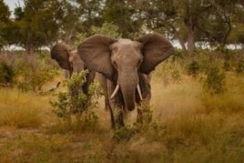 Elefanten er det største landlevende dyret som fortsatt finnes i dag. Men hvorfor slutter den å vokse? (Foto: Vaclav Sebek / Shutterstock / NTB scanpix)