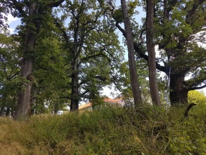 Billeekspert Oddvar Hanssen i NINA undersøker ei hul eik ved Berg fengsel. Forskerne har lenge vurdert denne eikehagen som den trolig beste utsettingslokaliteten for arten i Norge, og nå har eremitten endelig flyttet inn. (Foto: Anders Endrestøl / NINA)