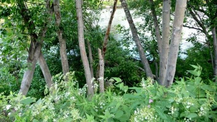 Phytophtora har blitt introdusert gjennom import av prydplanter som blant annet rododendron og tuja. Skadegjørerene infiserer røttene og sprer seg videre gjennom jord og vann. (Foto: Venche Talgø)