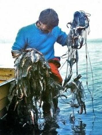 Slik så garnet ut etter å ha blitt kastet ut i Takvatnet i 1983. Vannet var overbefolket av små røye og ødelagt som fiskevann.(Foto: Anders Klemetsen)